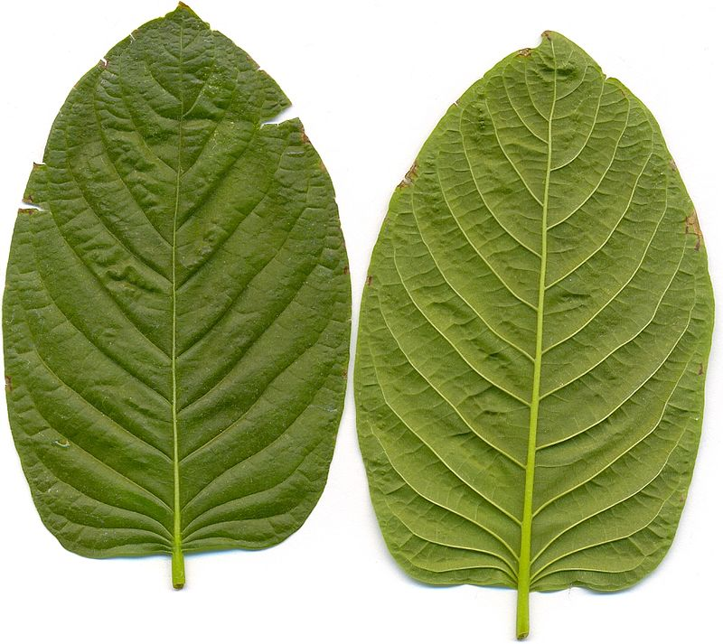Finest Kratom – The Method To Be Extra Efficient?